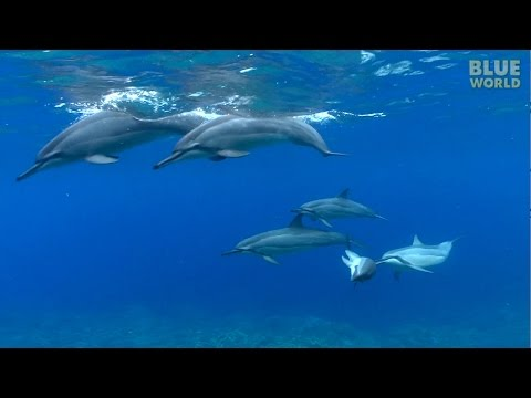 Hawaiian Spinner Dolphins   JONATHAN BIRD'S BLUE WORLD