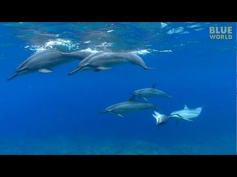 Hawaiian Spinner Dolphins | JONATHAN BIRD'S BLUE WORLD