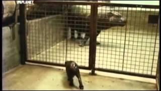 Эдинбург карликовый бегемот.avi