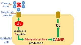 Vibrio cholera and cholera toxin mechanism