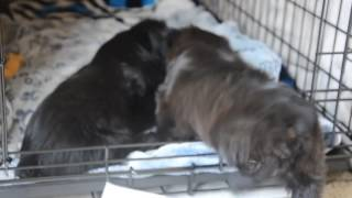 Shorkie puppies playing