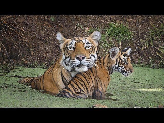 INDE : LES TIGRES EN VOIE D'EXTINCTION