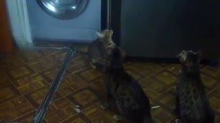 Купить бенгальского котёнка