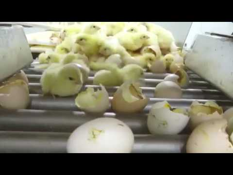 The Cruelty Behind Industrial Chicken Hatcheries
