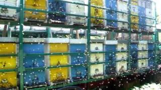 Pčelarski kamion na lipovoj paši (Beekeeper's track on linden pasture)