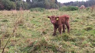 Scottish Highland Cattle In Finland: Two days old calf on a mission to lick the cameraman
