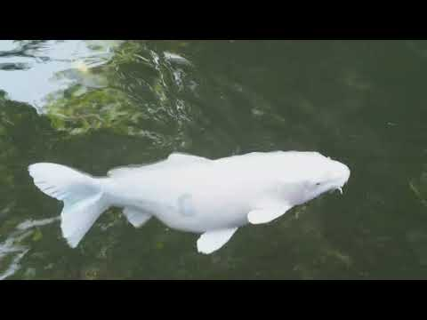 Hanako the oldest fish ever history