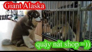 Giant Alaska Malamute Puppy 2 tháng 20kg quậy nát shop PUGK PET =))