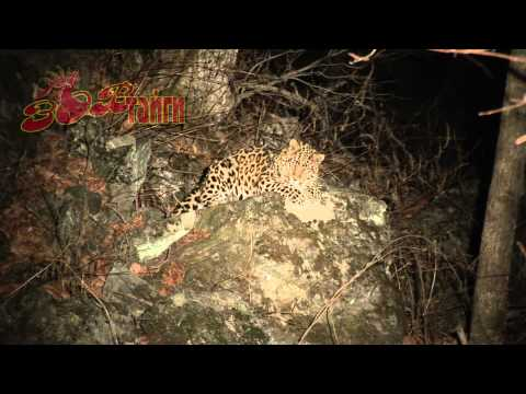 Amur leopard in Russian taïga tries to sleep