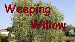 Weeping Willow Tree - Fast Growing Shade Tree - Salix Babylonica - Deciduous Spring Leaves Videos