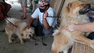Chow chow mate pairing with Taiko Shih Tzu stud and puppy Choco Liver Shih tzu.