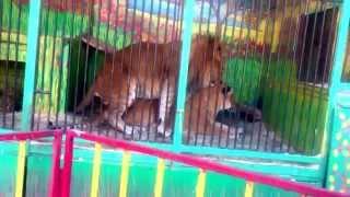 Лигр и Лилигр в Томске, большие кошки забавляются)))