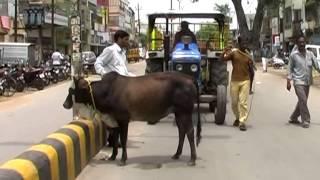 Cow Catcher Kanji House Bilaspur Nagar Nigam Municipality MPEG 4 thumbnail