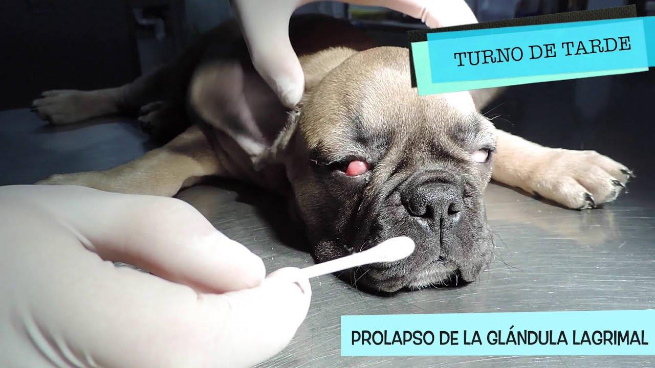 CAP 20 VETERINARIO ONLINE PROLAPSO glándula tercer párpado en perro ...