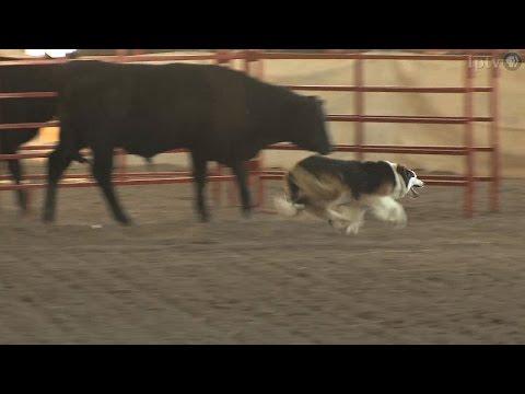 Stock Dog Trials  | Iowa State Fair 2014