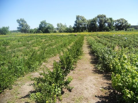 Схема посадки маточных кустов смородины.ПЛОДОПИТОМНИК с нуля. Часть #4