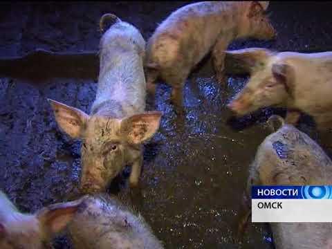 Африканская чума свиней появилась ещё в одном районе Омской области