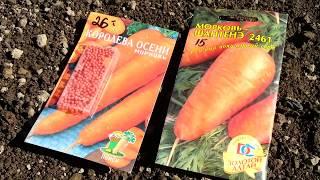 Морковь. Посадка моркови для длительного хранения.