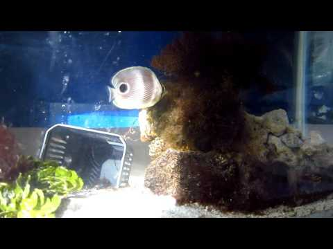 Butterfly Fish Challenge - Still Alive