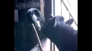Поцелуй собаки и телки