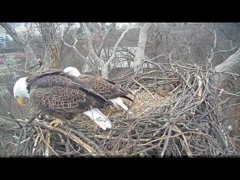 EAGLE CAM 2017- Eagles Mating Round 2 - ECC, MPDC