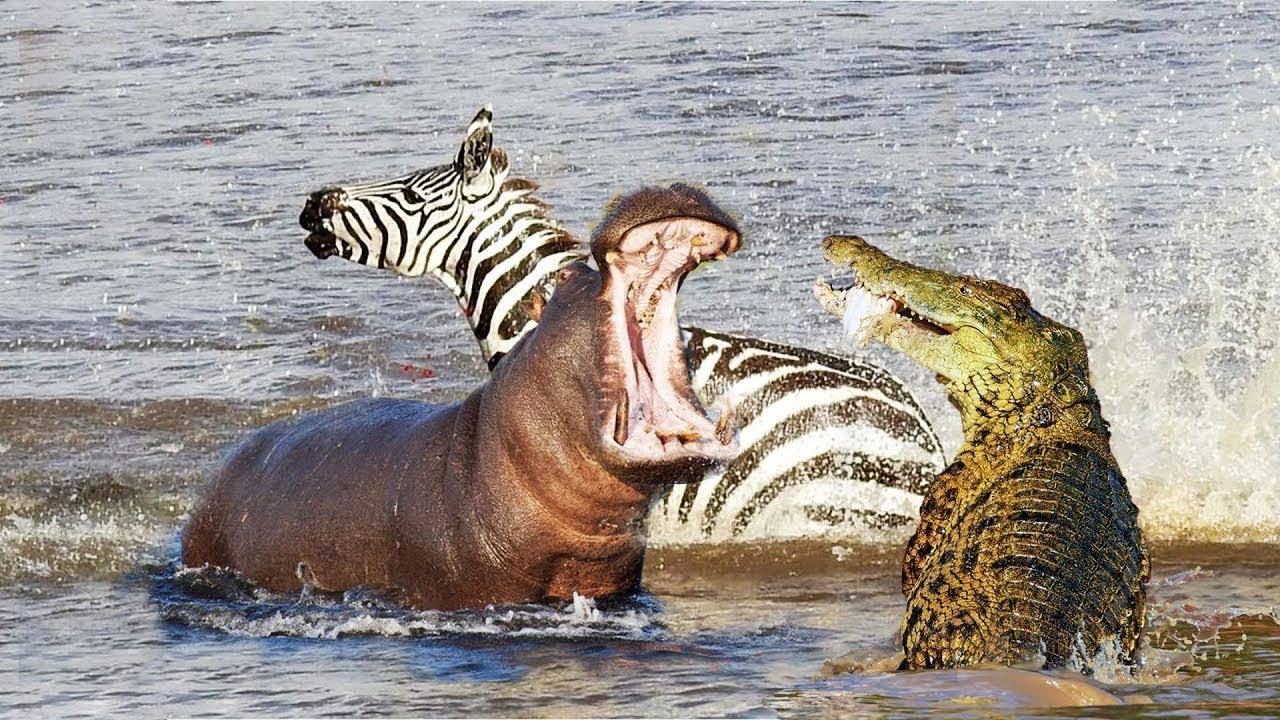 Angry Hippo Attack Crocodile Save Zebra Horse | Hippo vs Crocodile |  Aniamals Save Another Animals
