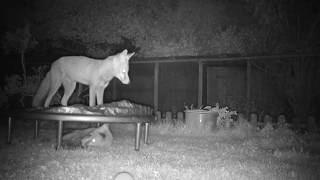 Cute fox cubs playing on trampoline
