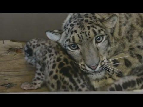 Endangered Snow Leopards Born At Metro Richmond Zoo