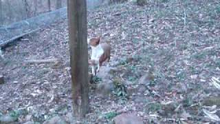 Three Buckley Mountain Feist Squirrel Dog Pups In Training