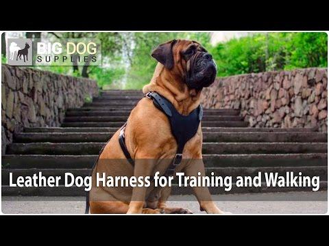 Super Comfy Simple Design Leather Dog Harness on Bullmastiff