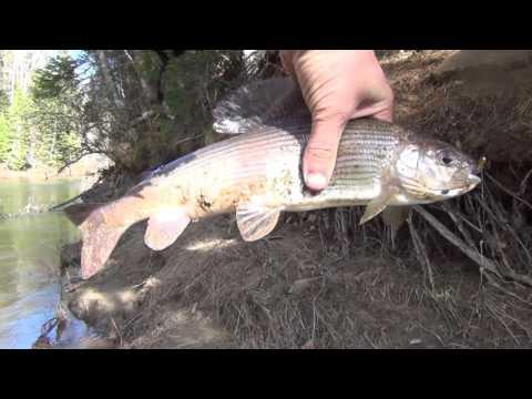 Grayling Fishing of the Grayling Fishing on the grayling Fishing for the pike Crucian