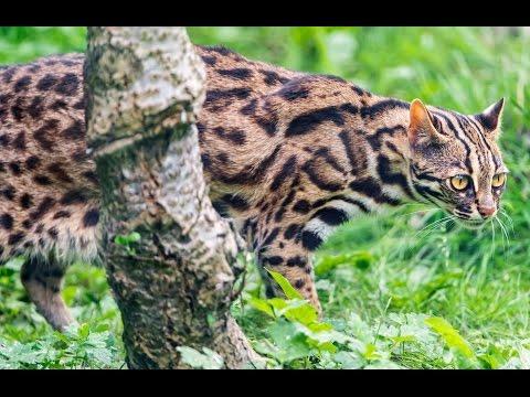 Asian Leopard Cat Growling - Chiang Mai