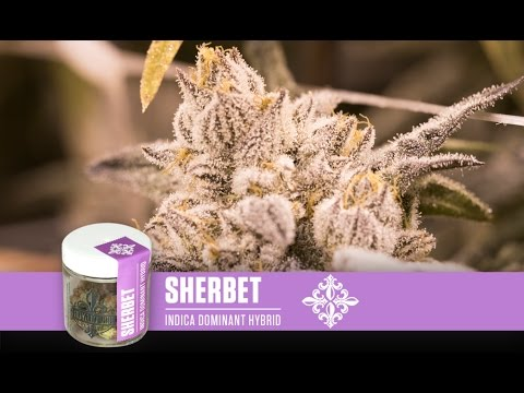 Sherbet Strain Review