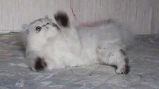 Персидский кот серебристая шиншилла