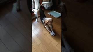 お昼寝から起きたビーグル犬クッキーをナデナデします beagle thumbnail