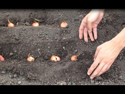 Вопрос: Как посадить проросший лук?