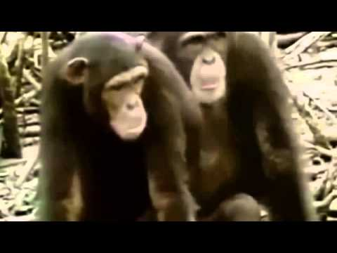 Bonobo orgia