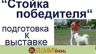 Стойка.   Собака четко стоит хенлинг  ринговая дрессировка уроки  подготовка к выставке