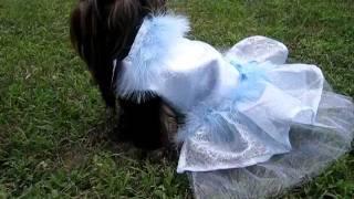 Artistically Bred Yorkshire Terrier Modeling Her Designer Dress By Ada Nieves