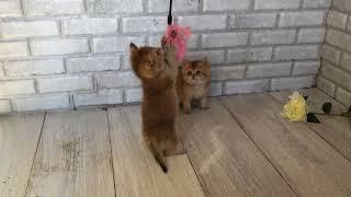 Британские котята золотые шиншиллы