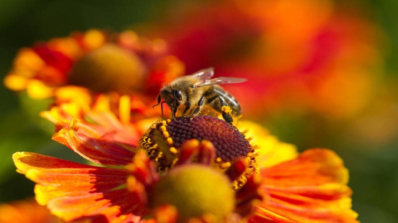 пчелиный подмор от потенции