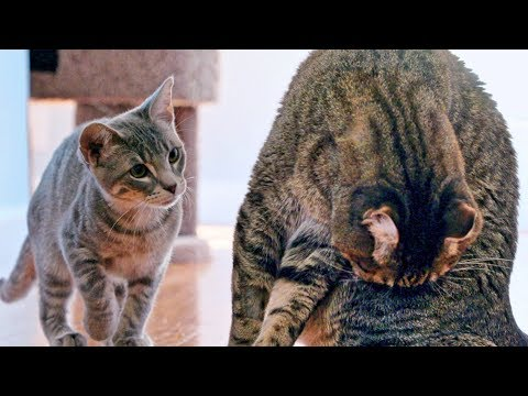 New Kitten Challenges Mean Kitty For The Throne! – Cat Battle