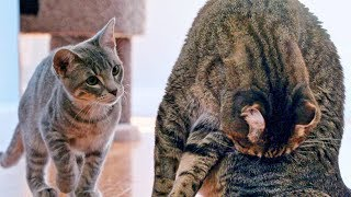 new-kitten-challenges-mean-kitty-for-the-throne-cat-battle