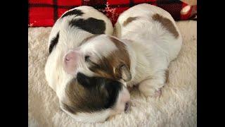 Coton de Tulear Puppies For Sale - Ivy 12/24/19