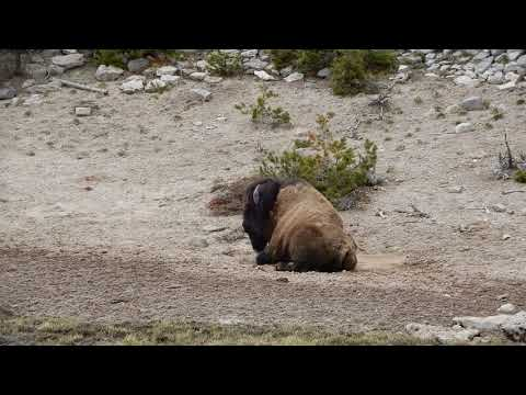 Yellowstone: bison
