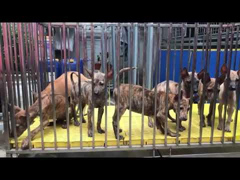 Chó Thái lan lai với Chó Phú Quốc ra một giống chó chuyên để đi thi (dog show) ???