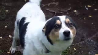 Собака  с сиплым голосом! собака не умеет лаять