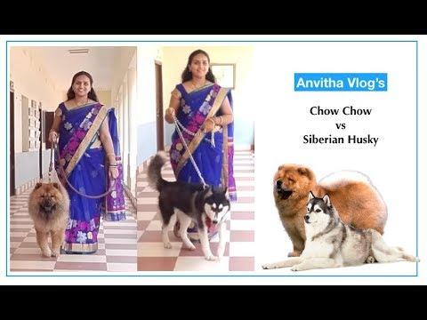 ChowChow vs Siberian Husky | #Dog #Vlog | Anvitha Vlog's