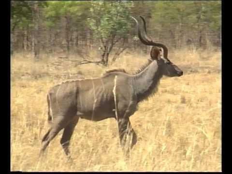 African wildlife: The Kudu