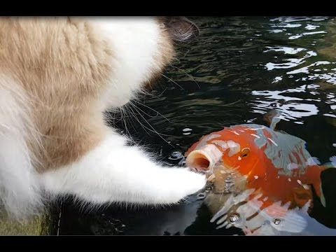 Thumbnail: Cute Interaction Between Cat And Koi fish